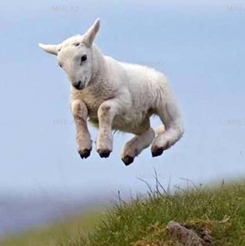 2015 год Козы (Овцы)
