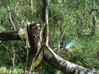 60 Цзя Цзы -  Дерево Ян на Обезьяне
